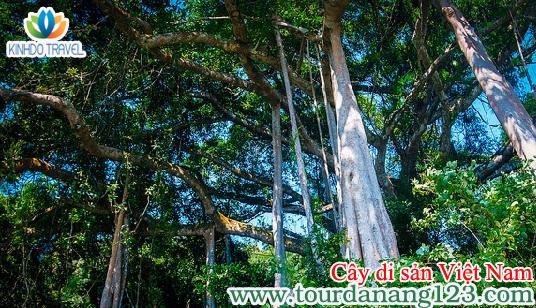 Cây đa di sản điểm đến du lịch Đà Nẵng 2014