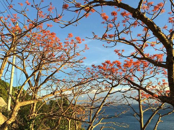 Du lịch Đà Nẵng tháng 10 nhớ ghé Cù Lam Chàm ngắm hoa ngô đồng đỏ rực