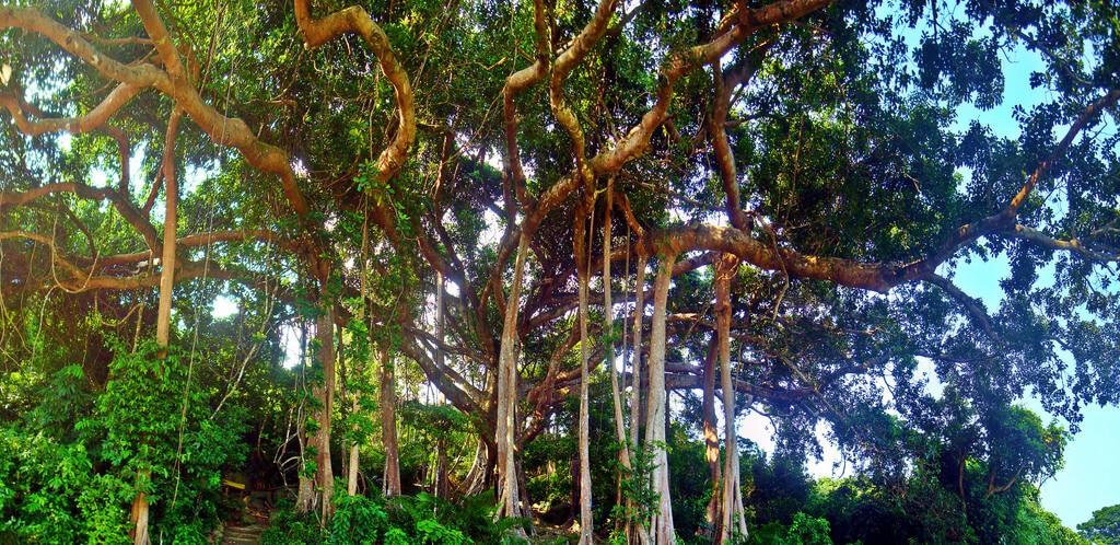 cây đa nghìn năm tuổi đà nẵng